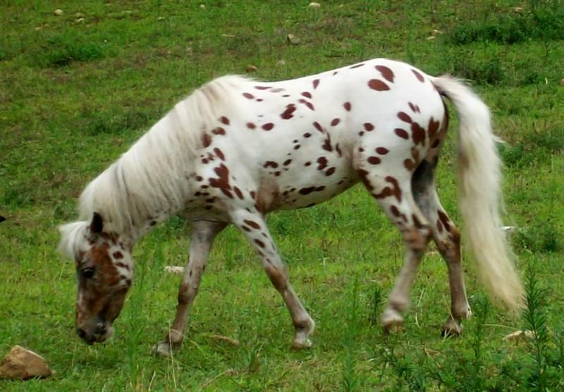 Pennsylvania Miniature Horses Pa Miniature Horse For Sale